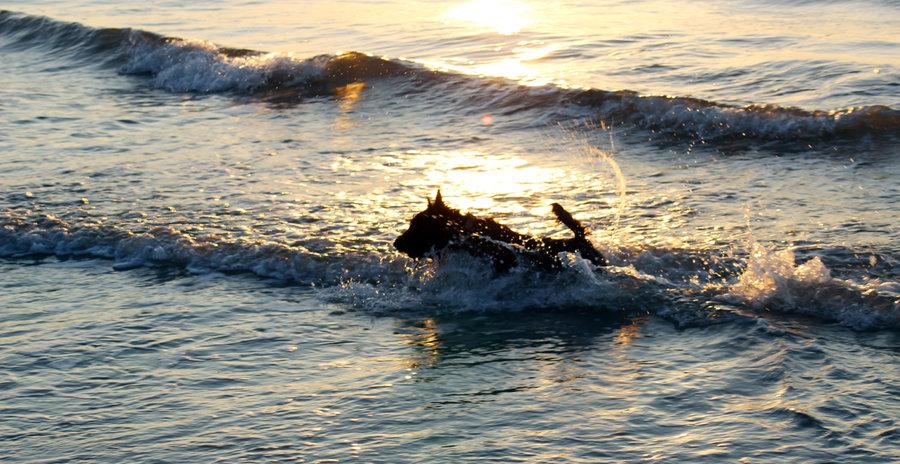 Dog in the Myrtle Beach surf
