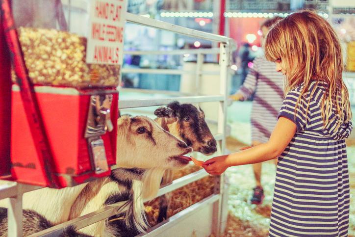 girl feeding goats at a fair