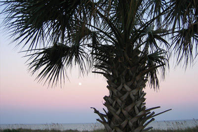 Palmetto Tree in Myrtle Beach