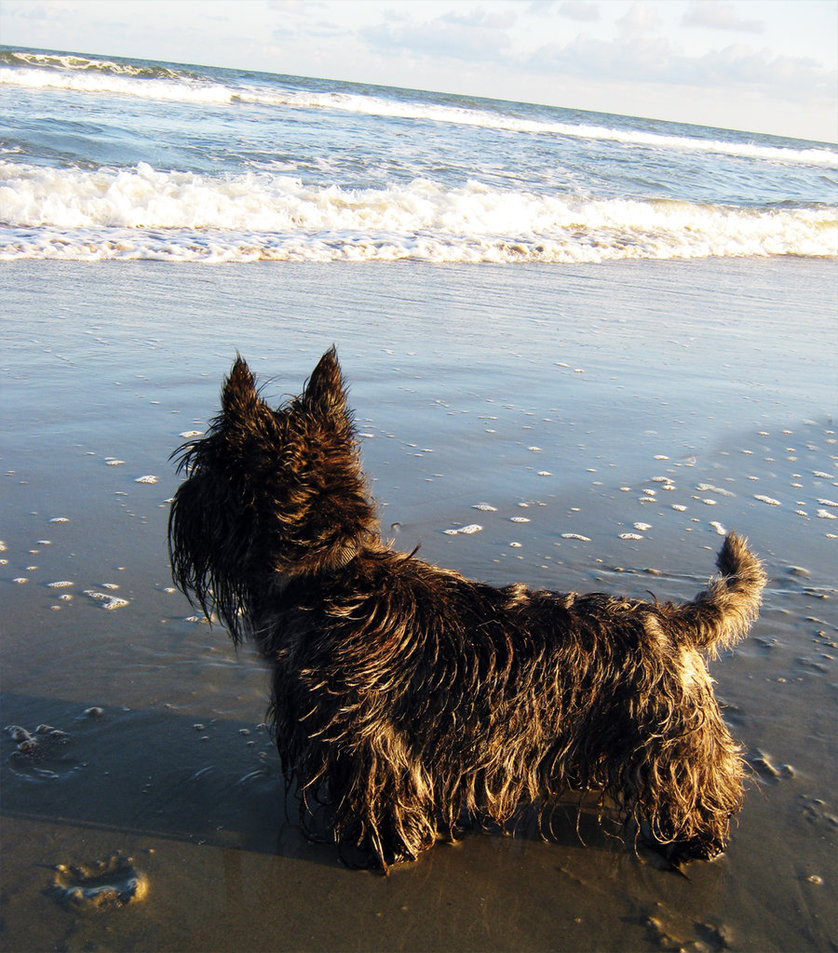 dog on the beach in Myrtle Beach